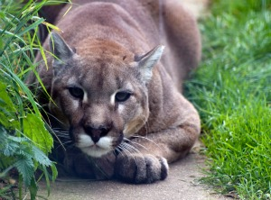 cougar Co Existing with Cougars: Are We the Real Predators?