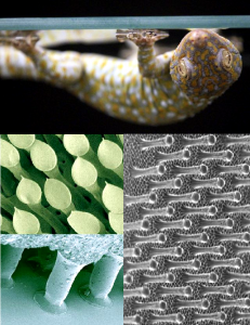 Biomimicry Gecko Tape 231x300 Biomimicry at OSU and Beyond: Borrowing Nature's Best Ideas