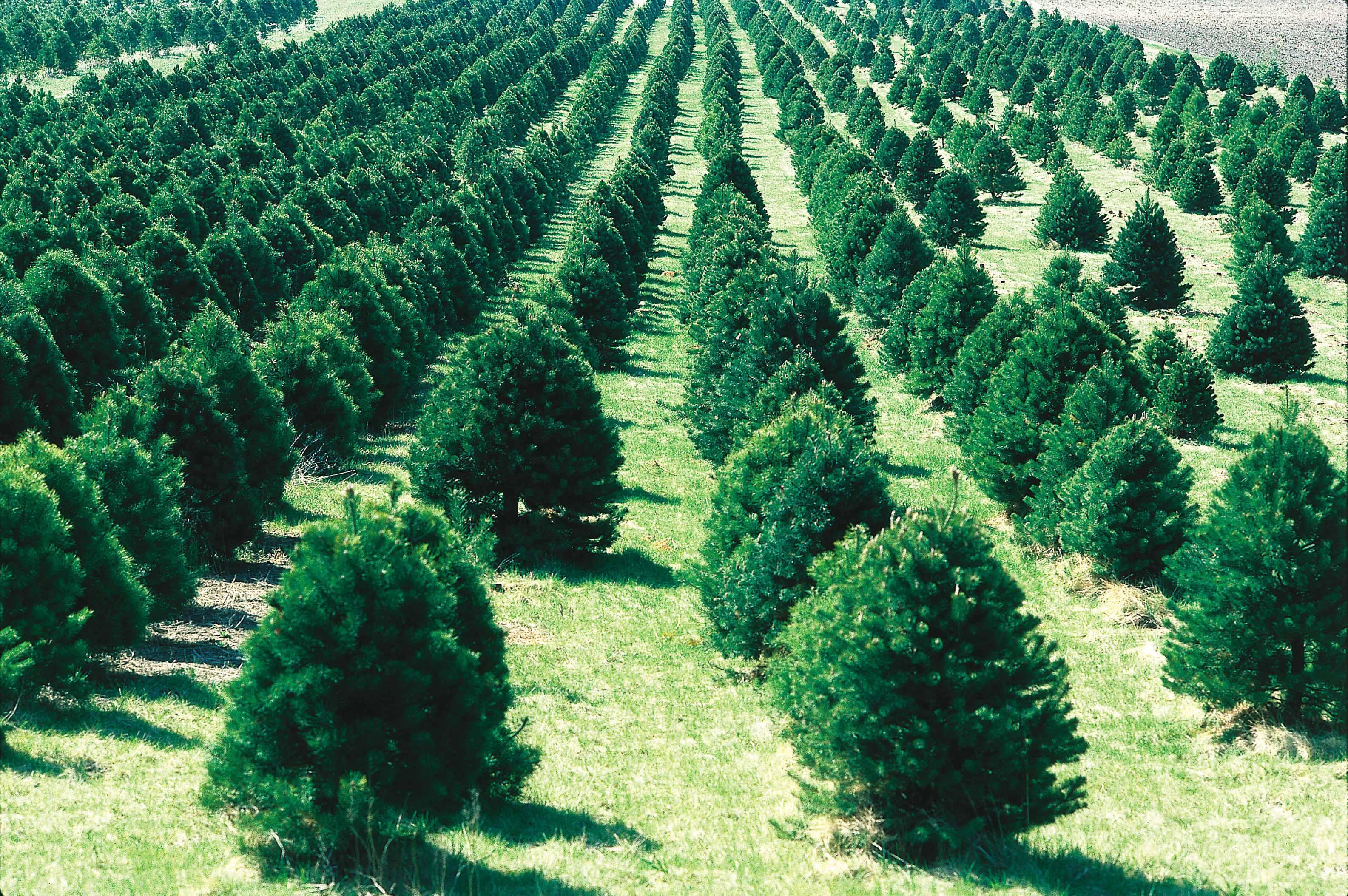 NJ Christmas Tree Farms Archives - The Corvallis Advocate