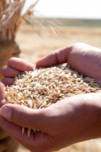 pende 0392 199x300 Bringing Barley Back to the Valley: OSU Rejuvenates Oregon's Barley Crop, Brewers Get Amped