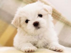 heartland puppy