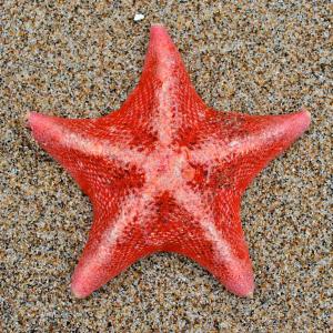 Starfish300