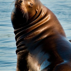 sea lion_color