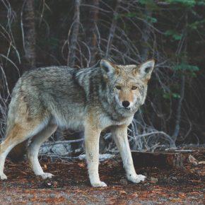 coyote_anikal_shiviktalk2