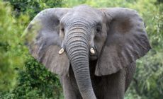 Measure Against Purchase of Endangered Animal Parts