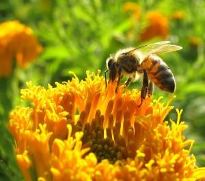 EU bee