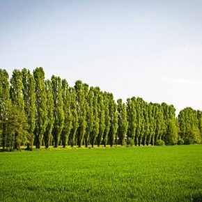 poplar-tree-row