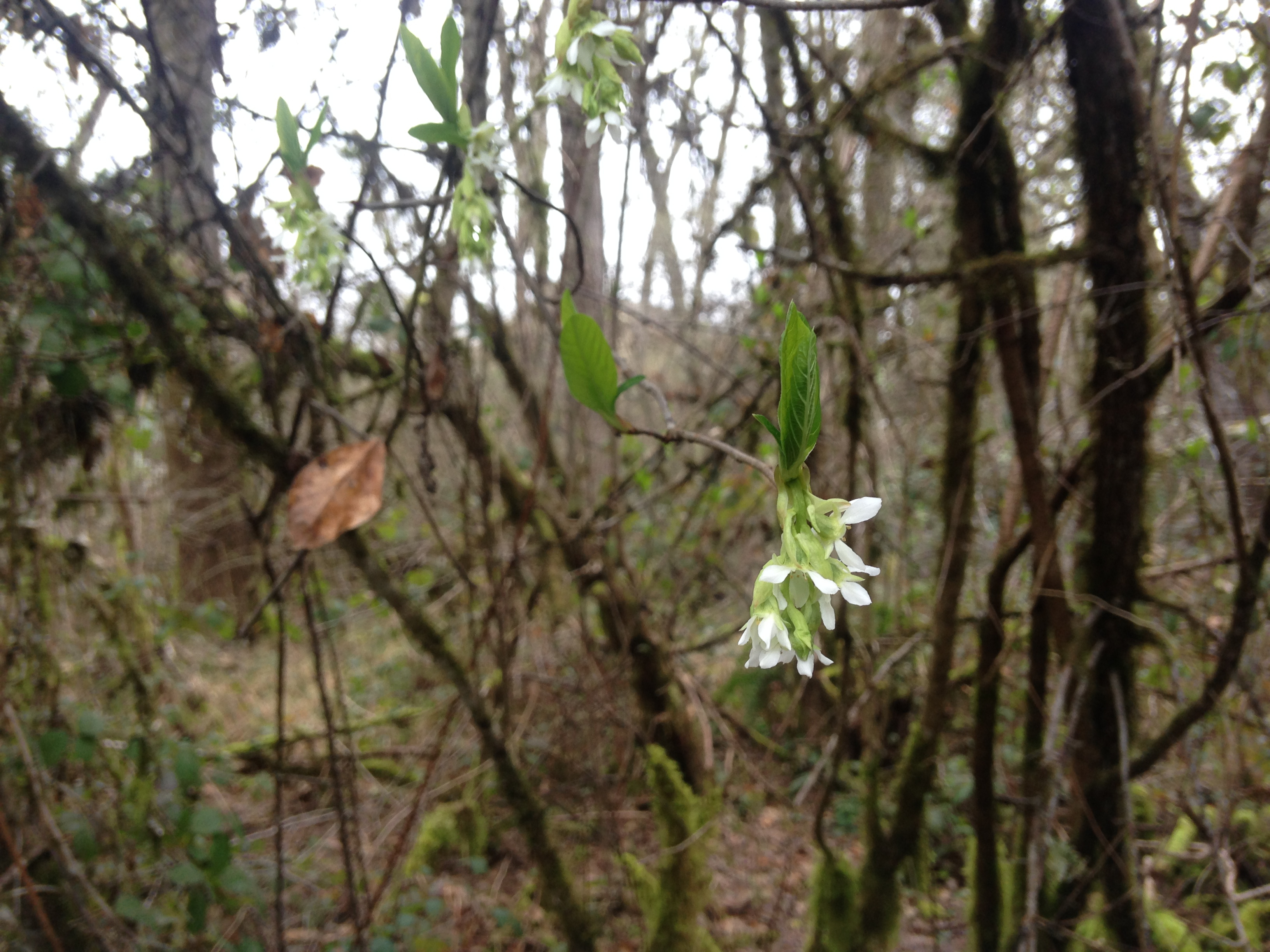 Nature Alert Early Spring Bloomers The Corvallis Advocate
