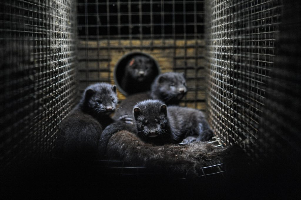 Denmark says mutated coronavirus from mink farms `most likely eradicated`